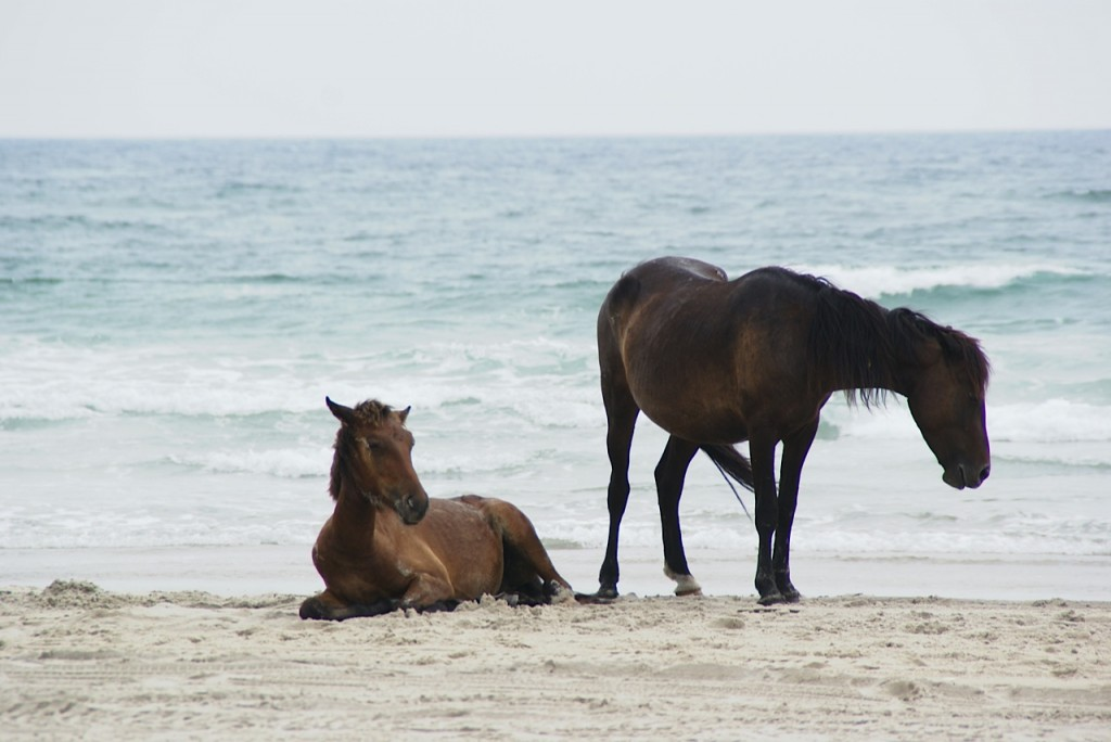 horses on Outer Banks, NC