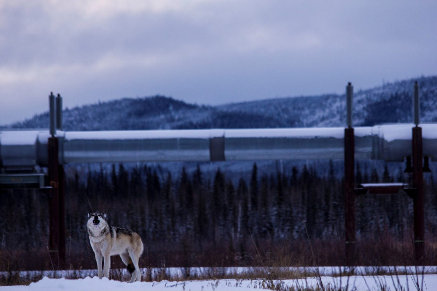 Howling Grey Wolf in front of the Alaska pipeline