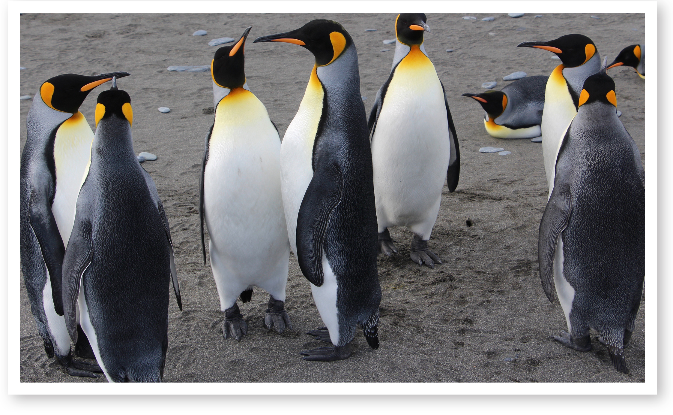 C. Albert Podell just returned from an awesome/awful (depending on the weather) adventure to the south Atlantic. He saw countless penguins, including this happy group. You will read about Albert's trip in the next issue of The LOG, coming out in the early summer.