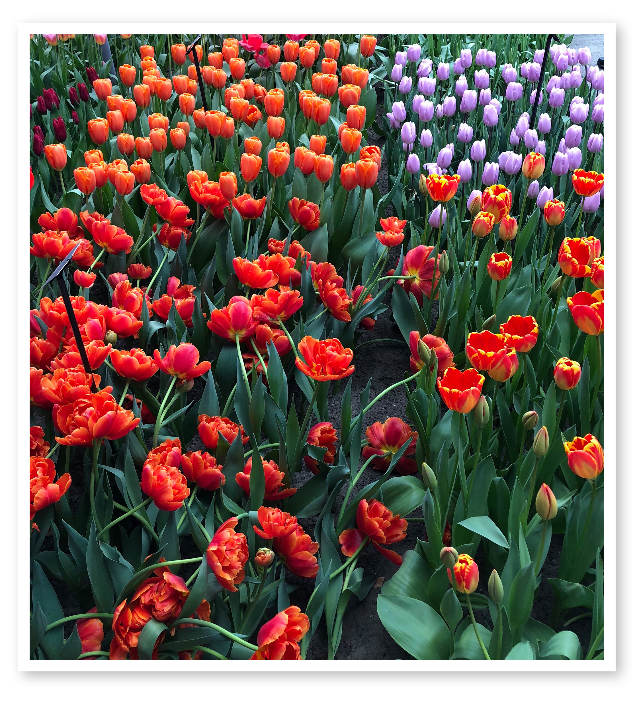 Dreaming of Spring flowers? Marilyn Varcoe of the Naples Chapter viewed the Tulip festival in Holland and came up with this gorgeous shot. Every month, we are looking for great photos for The Last Shot. Please send us your shots!