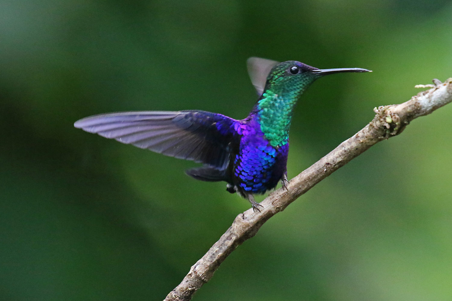 This image has an empty alt attribute; its file name is buescher-Violet-Bellied-Hummingbird-1500x1000.jpg